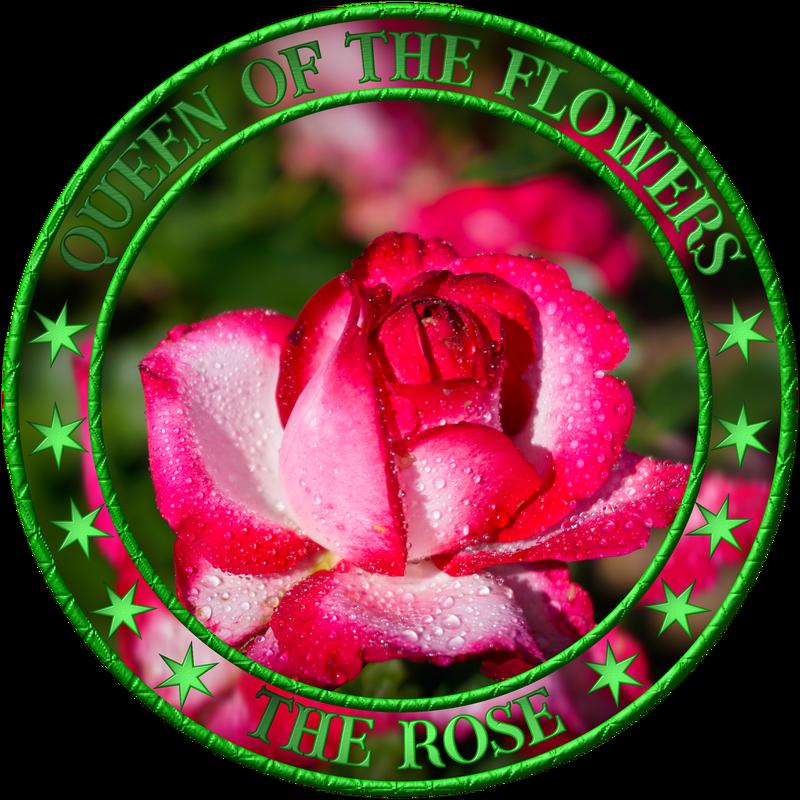 Wunderschöne Rosen mit Wassertropfen